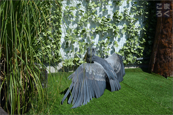 羽を乾かすために置物のようにたたずむハシビロコウ