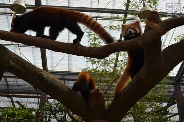神戸どうぶつ王国の人気者、レッサーパンダ